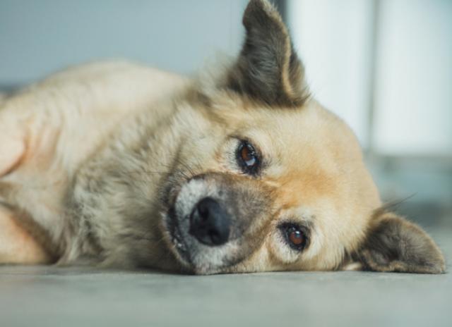 狗失去平衡感站立不稳是什么原因?怎么办?