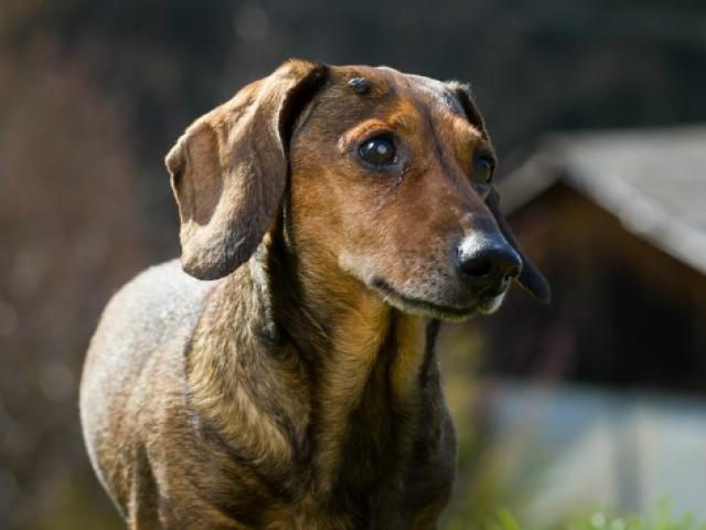 8种狗常患的肿瘤