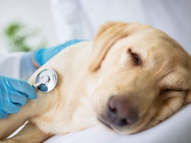 狗患流感了怎么办?会传染给人吗?