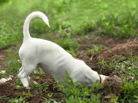 狗为什么会埋骨头?