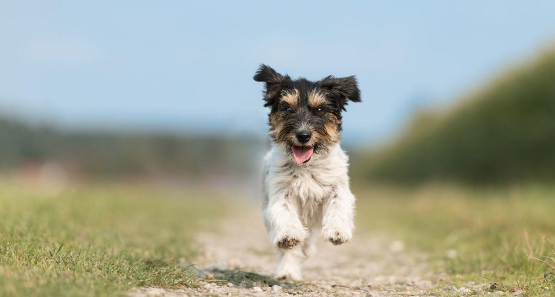 宠物狗的基本训练命令:过来