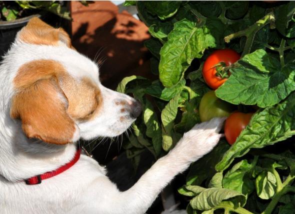 狗可以吃西红柿吗?