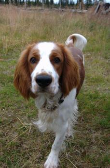 威尔士史宾格犬