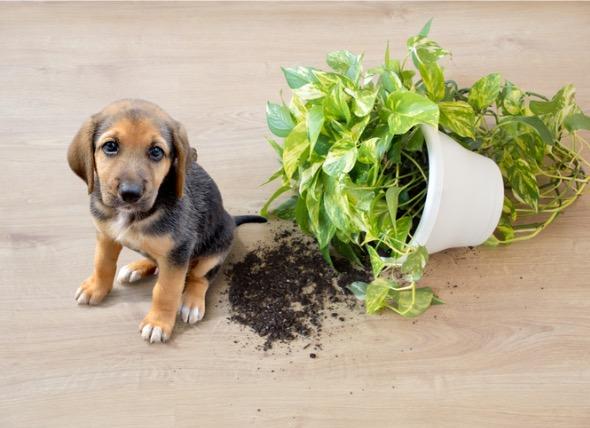 狗安全的花草