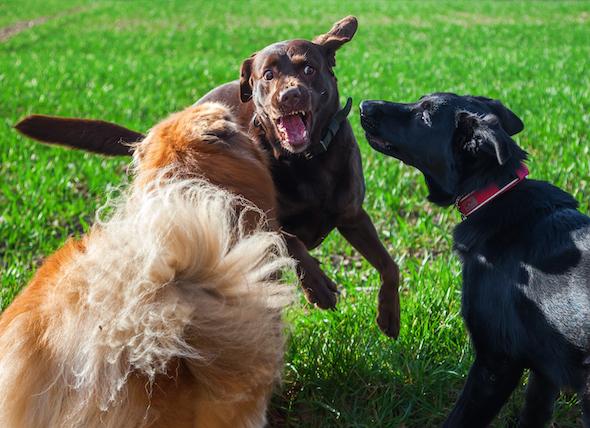 狗打架该怎么办?