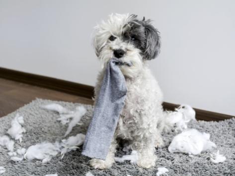 狗异食症是什么原因导致的?
