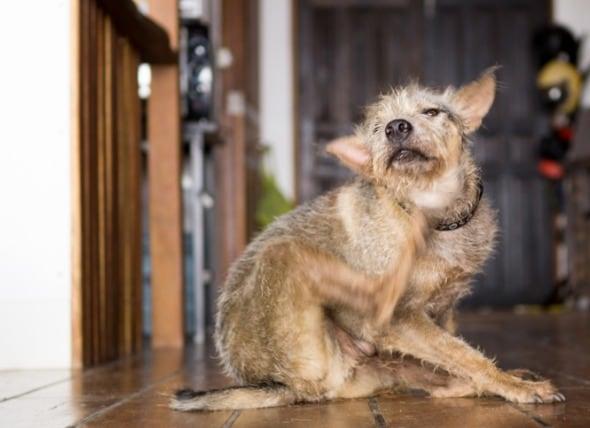 如何养护被跳蚤叮咬折磨的狗