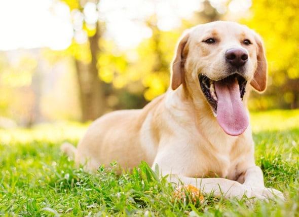 腺苷甲硫氨酸(SAM-e)对狗有什么作用?
