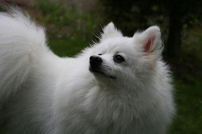 意大利狐狸犬