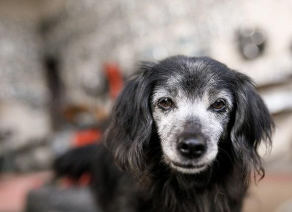狗狗尿失禁的原因是什么?如何治疗?