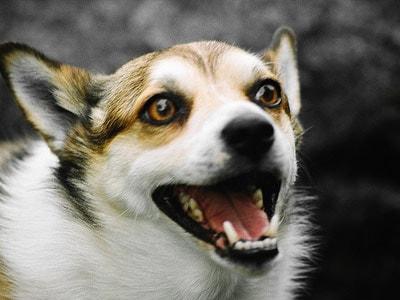 挪威伦德猎犬