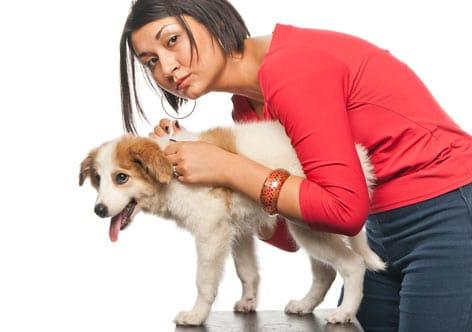 如何正确对狗狗使用防跳蚤和壁虱的化学产品?