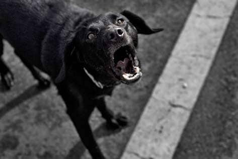 狗狗总是乱叫是怎么回事?