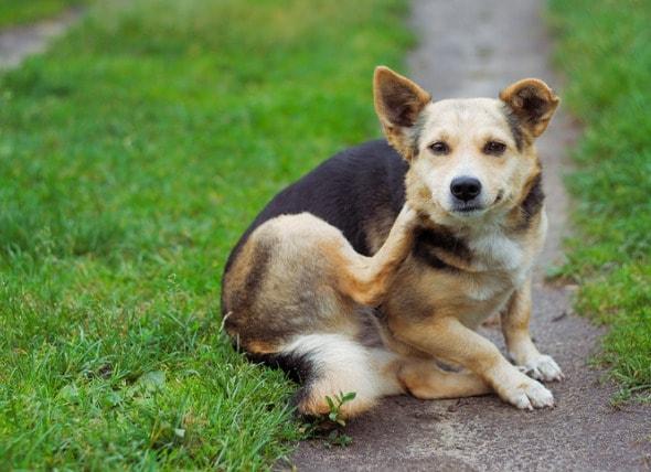 狗挠痒注意事项