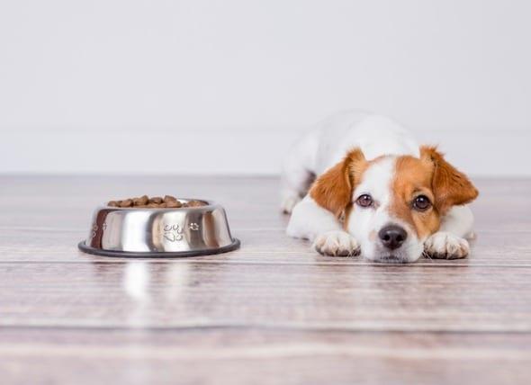 为什么狗不吃东西?超24小时应该重视!
