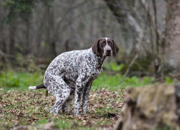 如何区分健康的狗狗粪便?狗粪便特征
